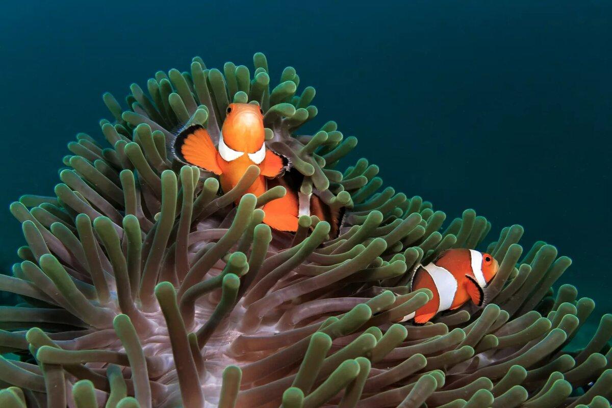 Эти глазные рыбы-клоуны прячутся в анемоне. Рыба-клоун и анемоны живут вместе во взаимных симбиотических отношениях. Они защищают друг друга от хищников. Фотография Микаэля Квиста / Момент / Getty Images