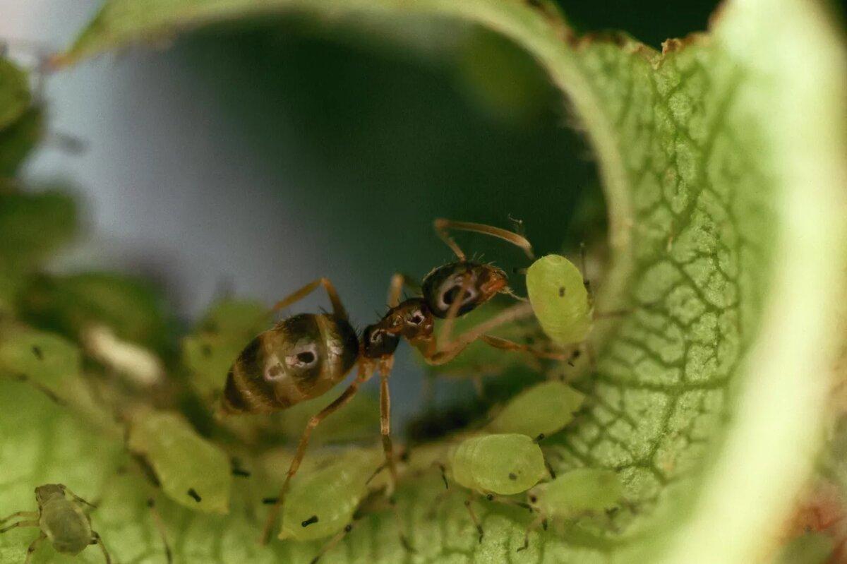 Аргентинский муравей выращивает тлю на молодом листе. Муравьи питаются росой, а тля получает защиту от муравьев. Джордж Д. Лепп / Документальный фильм Корбиса / Getty Images