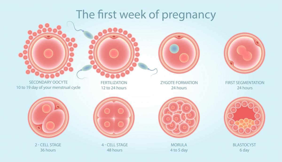 Развитие эмбриологии