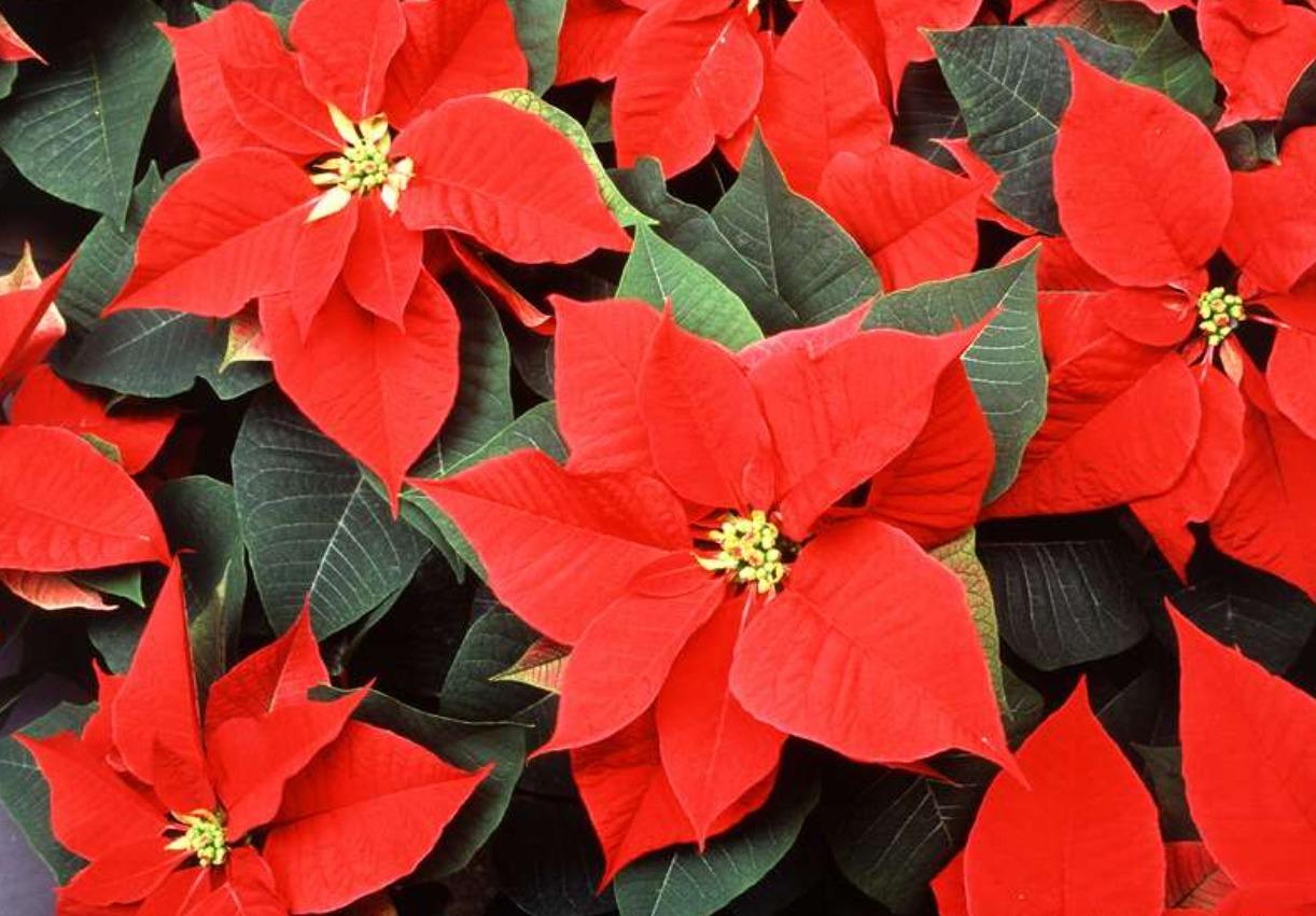 Рождественское растение