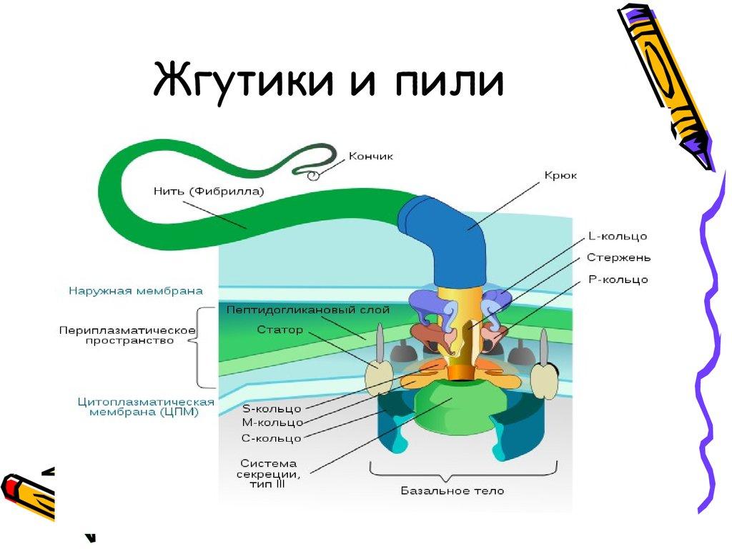 Форма жгутиков