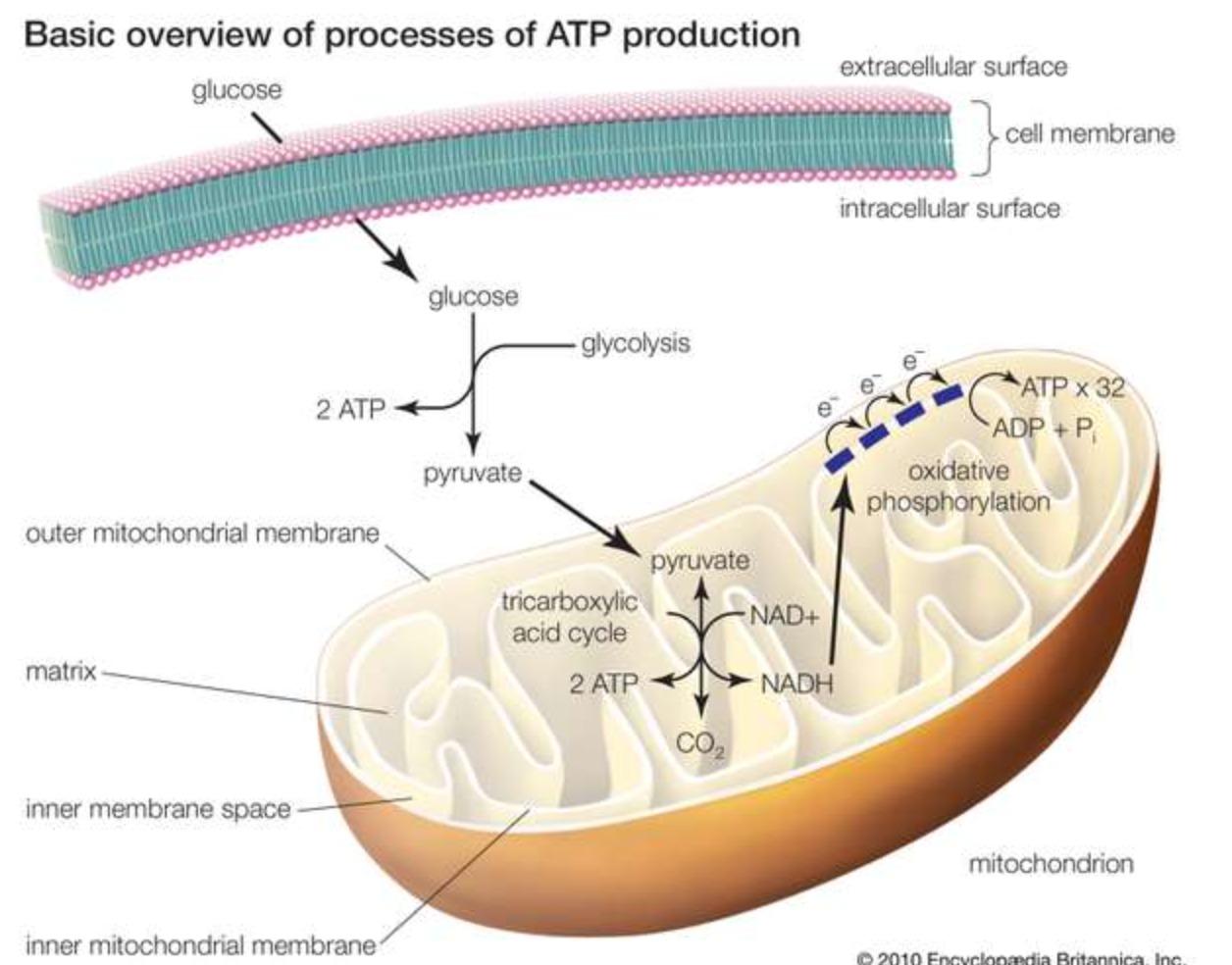 Клеточная митохондрия: содержимое и образование