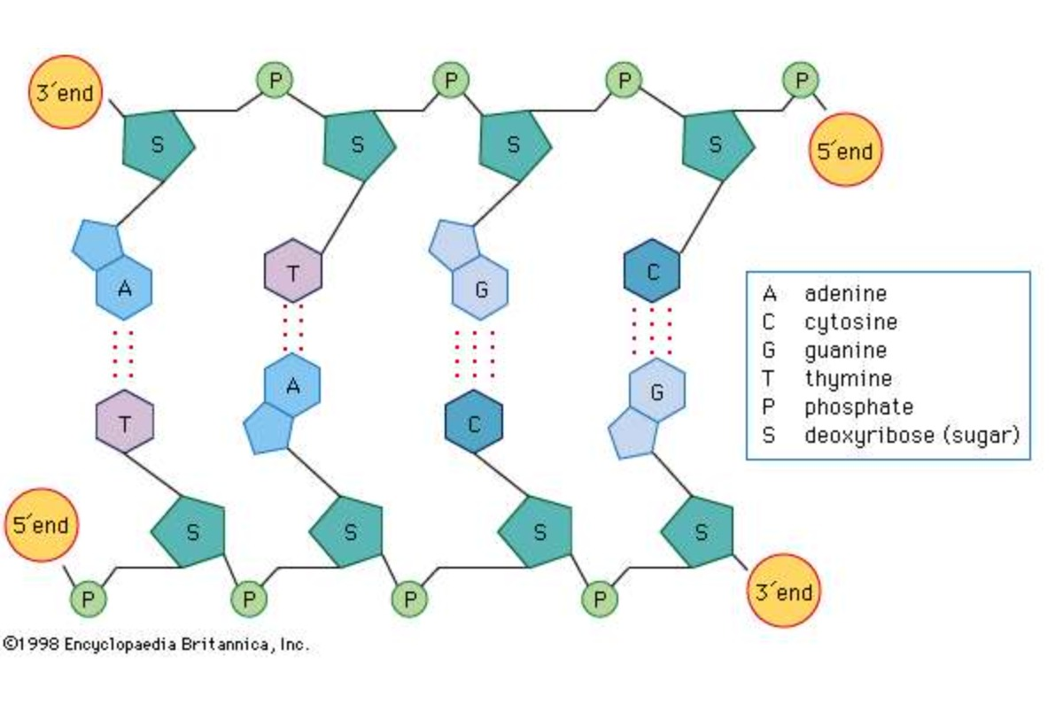 Структура клетки ДНК